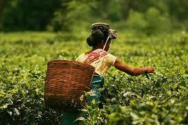 Assam picker